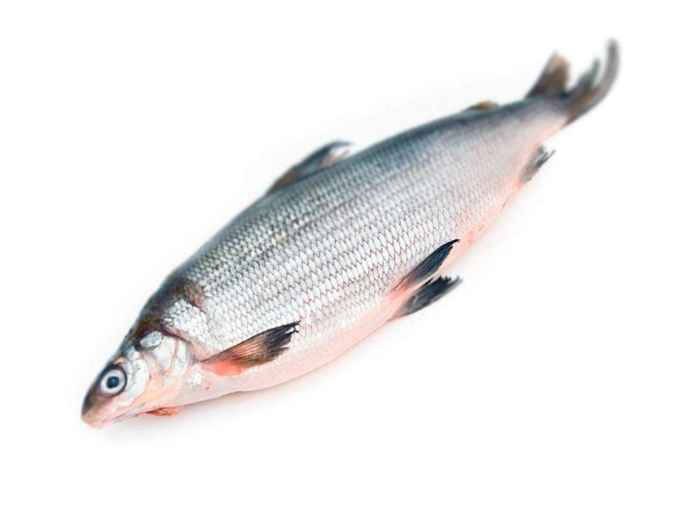 можете почитать сиг балтийский рыба фото использования